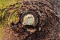 Tak wond van een spar (Picea) bedekt met schimmel 01.jpg