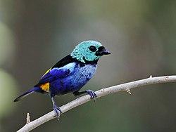 Tangara fastuosa - Seven colored Tanager; Maceió, Alagoas, Brazil.jpg