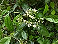 Tarenna asiatica-Asiatic Tarenna, Tharana, Pavattachedi, Kuppipoovu. 2.jpg