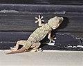 Tarentola mauritanica newtail.jpg