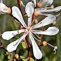 Tarflower (Bejaria racemosa) (6929161261).jpg