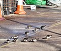 Ten Turnstones - geograph.org.uk - 1124989.jpg