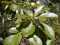 Terminalia foliage