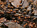 Termites (Nasutitermes sp.) (6760731623).jpg