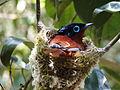 Terpsiphone mutata -Madagascar -nest-8.jpg