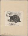 Testudo stellata - 1700-1880 - Print - Iconographia Zoologica - Special Collections University of Amsterdam - UBA01 IZ11600047.tif