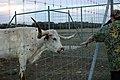 Texas Longhorn Steer (422315234).jpg