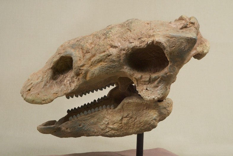 The Childrens Museum of Indianapolis - Cast skull of Gastonia - overall