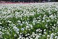 The Flower Fields at Carlsbad Ranch 89 2014-04-28.jpg
