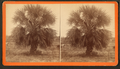 The Palmetto, by Havens, O. Pierre, 1838-1912.png