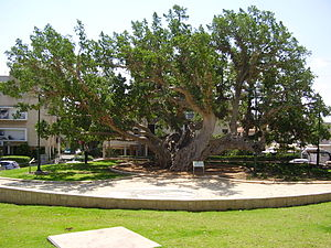 Netanya - The old Sycamore tree in Netanya