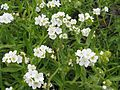 The rough popcornflower plagiobothrys hirtus an endangered plant species.jpg