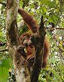 The tightroper orangutan - Sepilok Sanctuary Center - Sabah - Borneo - Malaysia - panoramio.jpg