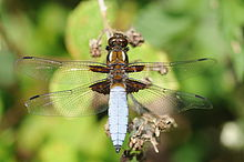 Thomas Bresson - Libellula depressa-6 (by).jpg