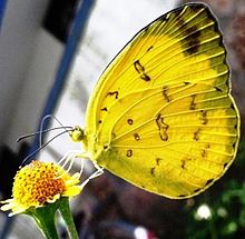 Three spot grass yellow UN.jpg