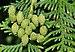 Thuja occidentalis qtl1.jpg