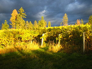 English: Thunder clouds over the vines at St H...