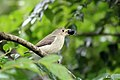 Tickell's Flowerpecker or Pale-billed Flowerpecker (27819155905).jpg