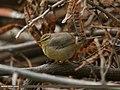 Tickell's Leaf Warbler (Phylloscopus affinis) (18590499916).jpg