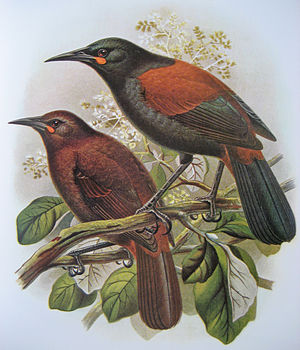 Saddleback (bird) - Image: Tieke Buller
