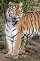 Tiger (16365743207).jpg