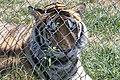 Tiger (37090439994).jpg