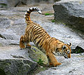 Tiger berlin-1.jpg