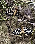 Tiger moths on tree trunk, Ritsurin Garden, Takamatsu, Shikoku, Japan.jpg