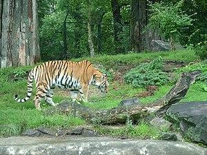 Magdeburg Zoo - Image: Tiger zoo magdeburg