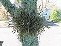 Tillandsia recurvata epiphyte IMG 1620.jpg