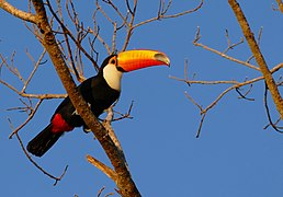 Toco Tucan (Ramphastos toco) at sunrise ... - Flickr - berniedup.jpg