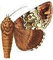 Tolna sypnoides female.JPG