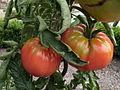 Tomate Schlesische Himbeere P1020442.JPG