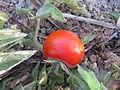 Tomato - തക്കാളി 05.JPG