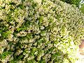 Trachelospermum jasminoides ParquePoblado Puertollano.jpg