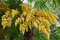 Trachycarpus fortunei-Parc du Grand Blottereau (8).jpg