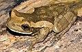 Trachycephalus venulosus02.jpeg