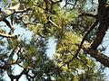 Tree in rozanji temple2.JPG