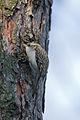 Treecreeper Lodz(Poland)(js)01.jpg
