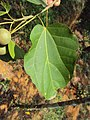 Trewia nudiflora 10.JPG
