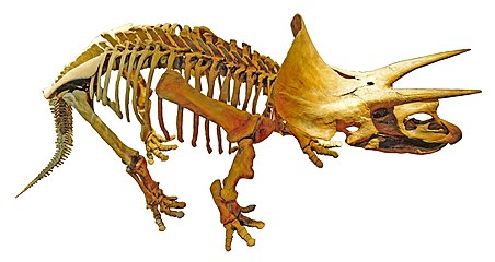 Triceratops Royal Tyrrell (retouched).jpg