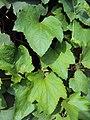 Trichosanthes tricuspidata var. tomentosa 2.JPG
