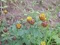 Trifolium badium503.JPG