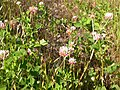 Trifolium hybridum (5154569251).jpg