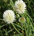 Trifolium montanum 290504.jpg