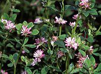 Trifolium resupinatum eF