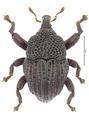 Trigonopterus terraereginae Riedel, holotype.tif