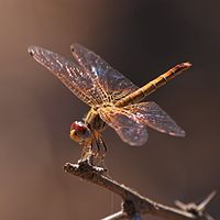 Trithemis kirbyi female.jpg