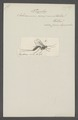 Tryphon - Print - Iconographia Zoologica - Special Collections University of Amsterdam - UBAINV0274 046 06 0093.tif