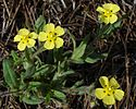 Spotted rock-rose
